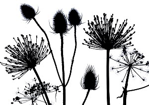 RF- Hedge parsley (Torilis japonica) close up pattern of dead seed heads. Silhouette on white background. (This image may be licensed either as rights managed or royalty free.)  -  Ernie  Janes
