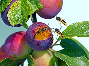 RF- Common wasps (Vespula vulgaris) feeding on ripe plums. England, UK, August. (This image may be licensed either as rights managed or royalty free.)  -  Ernie  Janes