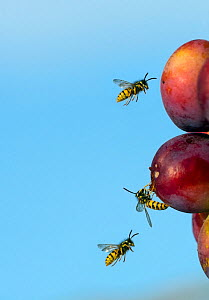 RF- Common wasp (Vespula vulgaris) feeding on ripe plums. England, UK, August. (This image may be licensed either as rights managed or royalty free.)  -  Ernie  Janes
