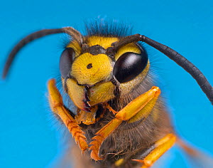 RF- Common wasp (Vespula vulgaris) head portrait (This image may be licensed either as rights managed or royalty free.)  -  Ernie  Janes
