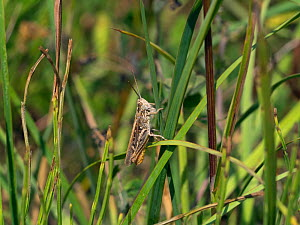 Field grasshopper (Chorthippus brunneus) on grass, England, UK, July.  -  Ernie  Janes