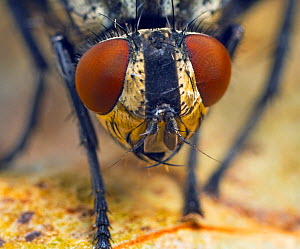 Flesh fly (Sarcophaga sp) close up portrait. - Ernie  Janes