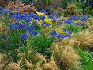 Blue agapanthus'Loch hope,and grasses in woodland garden  -  Ernie  Janes