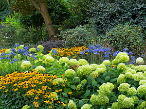 Blue agapanthus 'Loch hope', Hydrangea arborescens,and Rudbeckia Gold sturm in woodland garden  -  Ernie  Janes