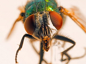 Greenbottle fly (Dasyphora cyanella) close up  -  Ernie  Janes
