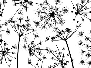 Hedge parsley (Torilis japonica) close up pattern of dead seed heads. Silhouette on white background.  -  Ernie  Janes