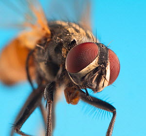 Housefly (Musca domestica) close up.  -  Ernie  Janes