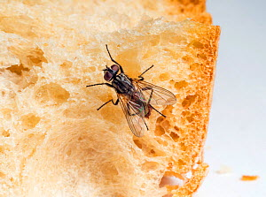 Housefly (Musca domestica) with parasites feeding on bread.  -  Ernie  Janes
