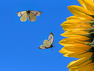 Large white butterfly (Pieris brassicae) feeding on sunflowers, England, UK, August. Digital Composite.  -  Ernie  Janes