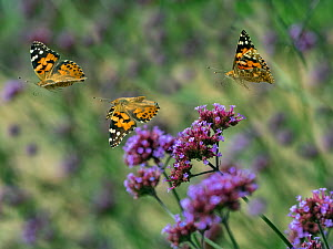 Painted lady butterfly (Cynthia cardui) feeding on Verbena flowers in flight, England, UK. August. Digital Composite. - Ernie  Janes