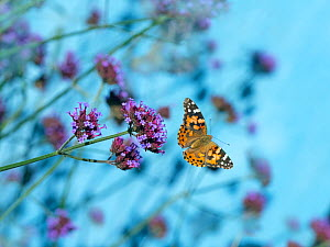 Painted lady butterfly (Cynthia cardui) feeding on Verbena flowers in flight, England, UK. August. - Ernie  Janes
