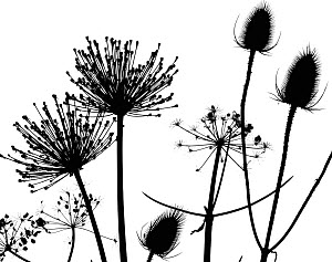 Teasel (Dipsacus fullonum), Hedge parsley (Torilis) and Allium seedhead silhouettes on white background. - Ernie  Janes
