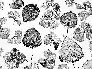 Chinese Lanterns (Physalis alkekengi), Hydrangea flowers, Poplar leaves (Populus) and Honesty skeletons (Lunaria annua), silhouettes on white background.  -  Ernie  Janes