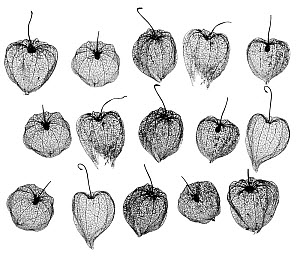 Chinese lanterns (Physalis alkekengi) skeletons, silhouette on white background.  -  Ernie  Janes