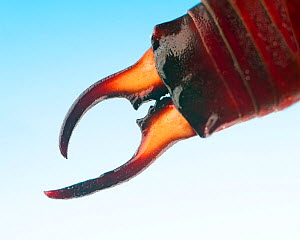 Common earwig (Forficula auricularia) close up of pincers - Ernie  Janes