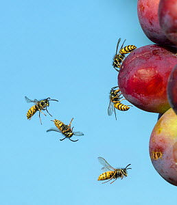 Common wasp (Vespula vulgaris) flying and feeding on ripe plums, England, UK, August. Digital composite.  -  Ernie  Janes