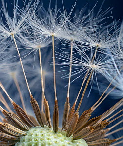 Dandelion (Taraxacum officinale) close up of seed head. - Ernie  Janes