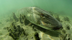 Large Pike (Esox lucius) more than a meter long, resting on a lake bed,  Lake Neuchatel, Switzerland. June.  -  Remi Masson
