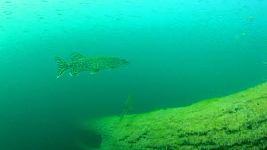 Pike (Esox lucius) hunting in a shoal of Perch (Perca fluviatilis), Lake Neuchatel, Switzerland. June. - Remi Masson