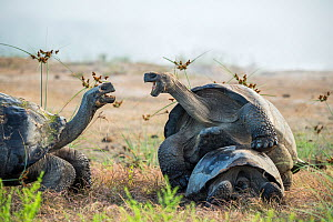 Alcedo giant tortoise (Chelonoidis vandenburghi) male mating with female while squabbling with another tortoise. Alcedo Volcano, Isabela Island, Galapagos  -  Tui De Roy
