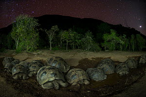 Alcedo giant tortoise (Chelonoidis vandenburghi) group resting in water at night, Alcedo Volcano, Isabela Island, Galapagos  -  Tui De Roy