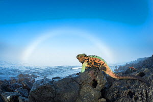Marine iguana (Amblyrhynchus cristatus) males in breeding colouration on rocks, with sun halo, Floreana Island, Galapagos - Tui De Roy