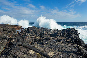 Marine iguana (Amblyrhynchus cristatus) group on coast with waves, Punta Espinosa, Fernandina Island, Galapagos - Tui De Roy