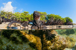 Marine iguana (Amblyrhynchus cristatus) resting in water, split level view, Turtle Bay, Santa Cruz Island - Tui De Roy