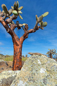 Santa Cruz lava lizard (Microlophus indefatigabilis) with large prickly pear (Opuntia sp) in the background. Santa Fe Island, Galapagos - Tui De Roy