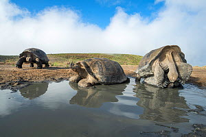 Alcedo giant tortoise (Chelonoidis vandenburghi) pair mating in shallow pool, with two others resting nearby. Alcedo Volcano, Isabela Island, Galapagos  -  Tui De Roy