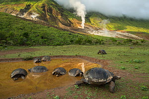 Alcedo giant tortoise (Chelonoidis vandenburghi) group resting and cooling down in water, Alcedo Volcano, Isabela Island, Galapagos  -  Tui De Roy