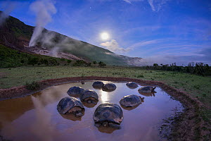 Alcedo giant tortoises (Chelonoidis vandenburghi) group resting in water on moonlit night to keep cool, Alcedo Volcano, Isabela Island, Galapagos - Tui De Roy