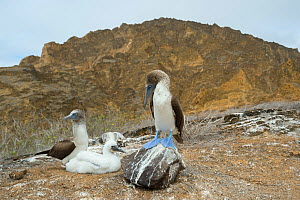 Blue-footed booby (Sula nebouxii), pair with chick. Punta Pitt, San Cristobal Island, Galapagos. - Tui De Roy