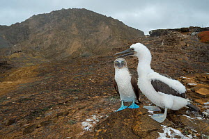 Blue-footed booby (Sula nebouxii) with chick. Punta Pitt, San Cristobal Island, Galapagos. July 2016.  -  Tui De Roy