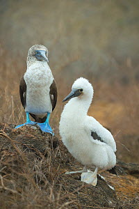 Blue-footed booby (Sula nebouxii) with chick. Punta Pitt, San Cristobal Island, Galapagos.  -  Tui De Roy
