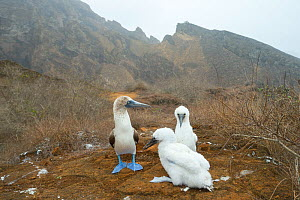 Blue-footed booby (Sula nebouxii) with two chicks. Punta Pitt, San Cristobal Island, Galapagos. July 2016.  -  Tui De Roy