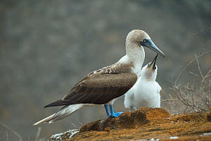 Blue-footed booby (Sula nebouxii) chick begging adult for food. Punta Pitt, San Cristobal Island, Galapagos.  -  Tui De Roy