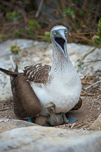 Blue-footed booby (Sula nebouxii) alarmed, on nest with chick and egg. Punta Suarez, Espanola Island, Galapagos.  -  Tui De Roy