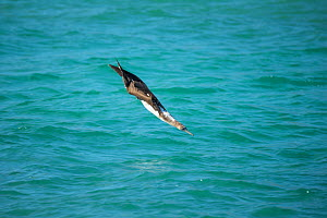 Blue-footed booby (Sula nebouxii) diving towards sea with wings folded. Santa Fe Island, Galapagos. - Tui De Roy