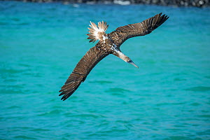 Blue-footed booby (Sula nebouxii) diving towards sea with wings outstretched. Santa Fe Island, Galapagos.  -  Tui De Roy