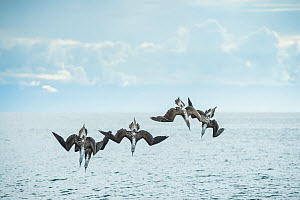 Blue-footed booby (Sula nebouxii), five diving into sea. Espumilla Beach, Santiago Island, Galapagos.  -  Tui De Roy