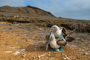 Blue-footed booby (Sula nebouxii) pair mating, one egg in nest. Punta Pitt, San Cristobal Island, Galapagos. April 2016.  -  Tui De Roy