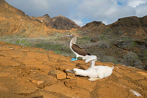 Blue-footed booby (Sula nebouxii), chick holding wings aloft with adult behind. Punta Pitt, San Cristobal Island, Galapagos. April 2017.  -  Tui De Roy
