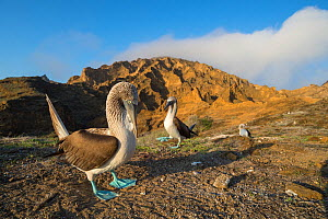 Blue-footed booby (Sula nebouxii) pair, male displaying feet in courtship ritual. Punta Pitt, San Cristobal Island, Galapagos. April 2017. - Tui De Roy