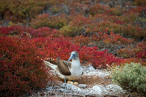 Blue-footed booby (Sula nebouxii) at nest, brooding three eggs. Seymour Island, Galapagos. - Tui De Roy