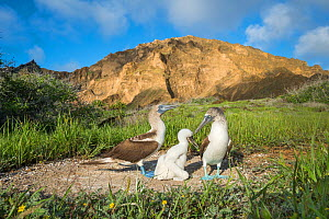 Blue-footed booby (Sula nebouxii) family at nest with hill in background. Punta Pitt, San Cristobal Island, Galapagos. May 2017.  -  Tui De Roy