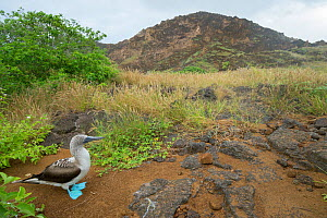 Blue-footed booby (Sula nebouxii) with grassland and hill in background. Punta Pitt, San Cristobal Island, Galapagos. June 2015.  -  Tui De Roy