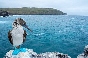 Blue-footed booby (Sula nebouxii) perched on rock at coast. Santa Fe Island, Galapagos. August 2015.  -  Tui De Roy