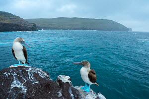 Blue-footed booby (Sula nebouxii), pair looking at each other, on coastal rocks. Santa Fe Island, Galapagos. August 2015. - Tui De Roy
