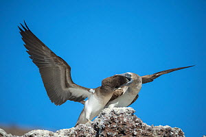 Blue-footed booby (Sula nebouxii), adult feeding chick in rock. Punta Vicente Roca, Isabela Island, Galapagos.  -  Tui De Roy